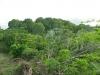 Veel mahonie bomen